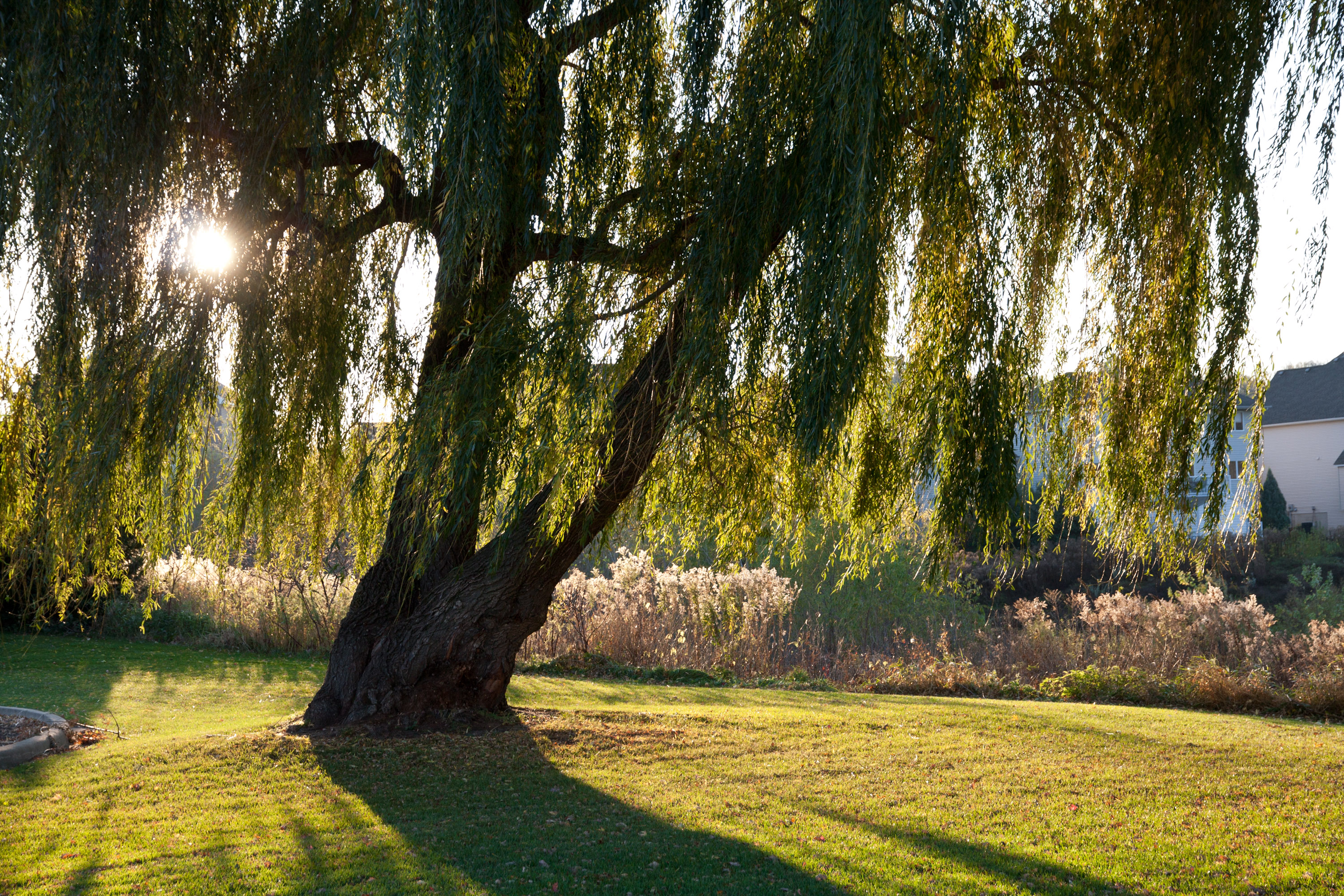 Weeping Willow photo